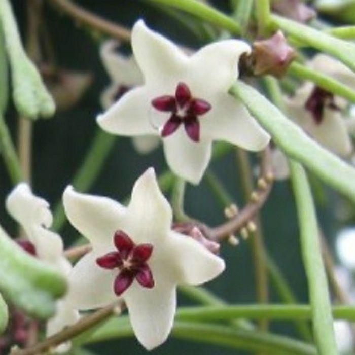 Hoya retusa - muda flor de cera