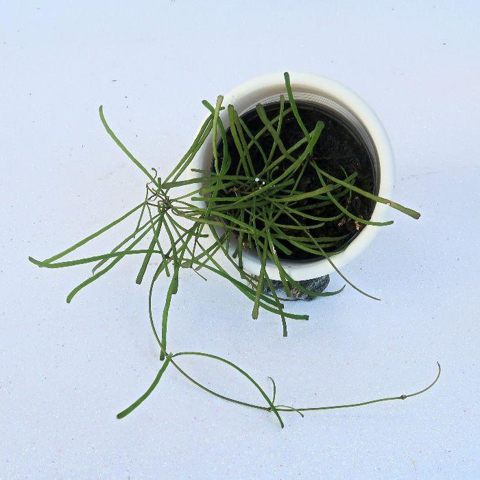Hoya retusa - flor de cera