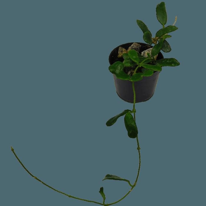 Hoya rotundifolia - muda flor de cera