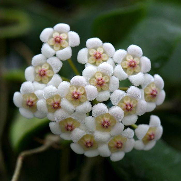 Hoya rotundifolia - muda grande