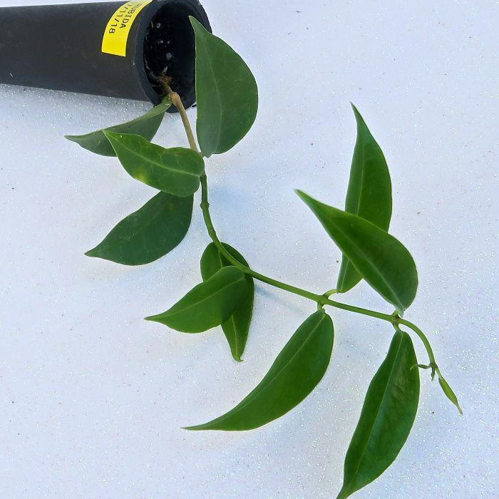 Hoya rubida - flor de cera