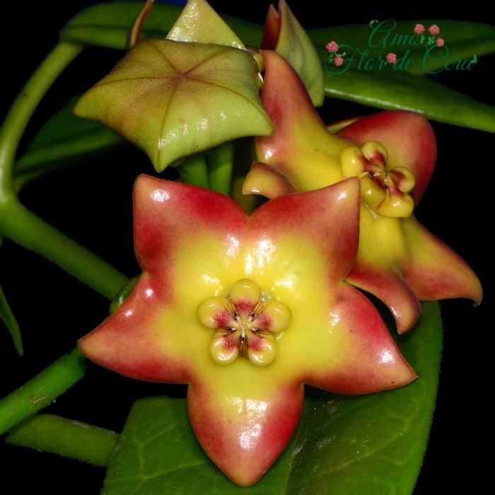 Hoya cv ruthie - flor de cera - muda grande