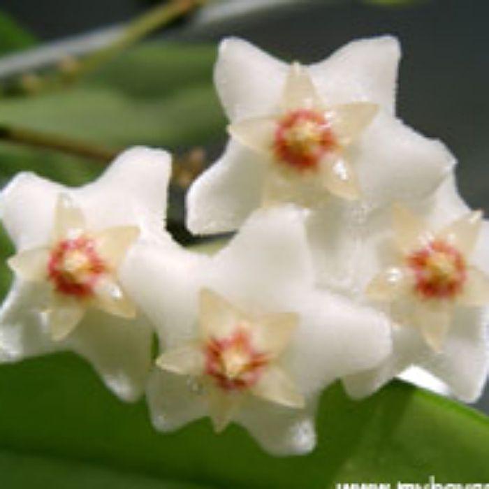 Hoya salwenica - muda flor de cera