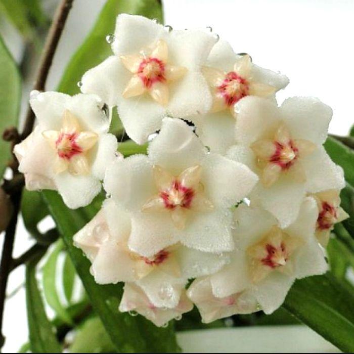 Hoya salweenica - muda flor de cera