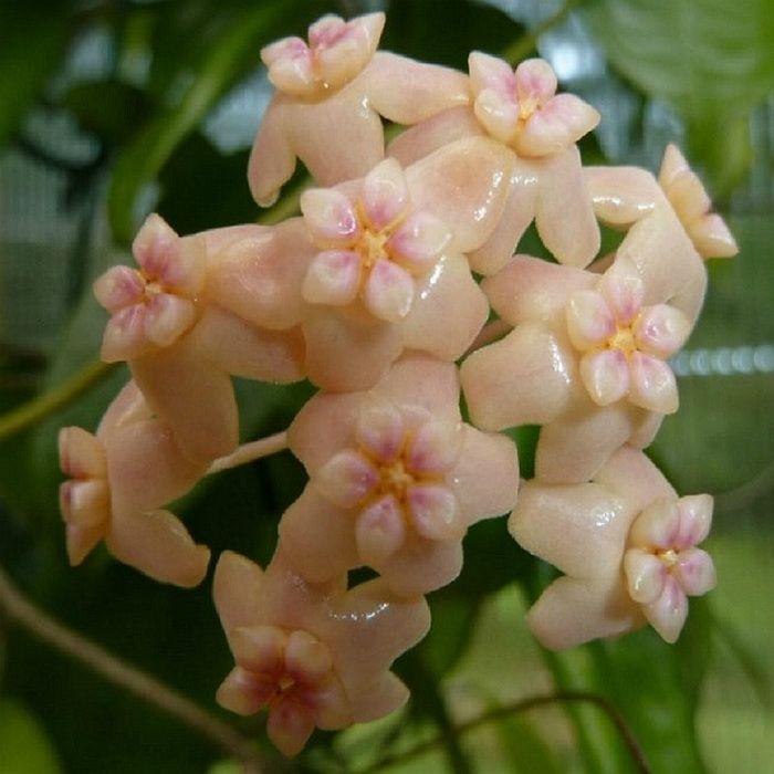 Hoya samoensis - flor de cera