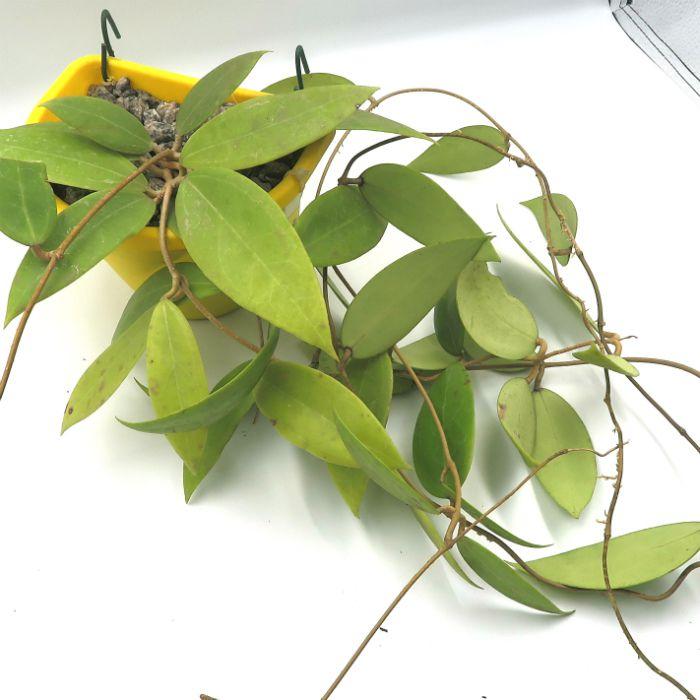 Hoya sarawak - muda grande