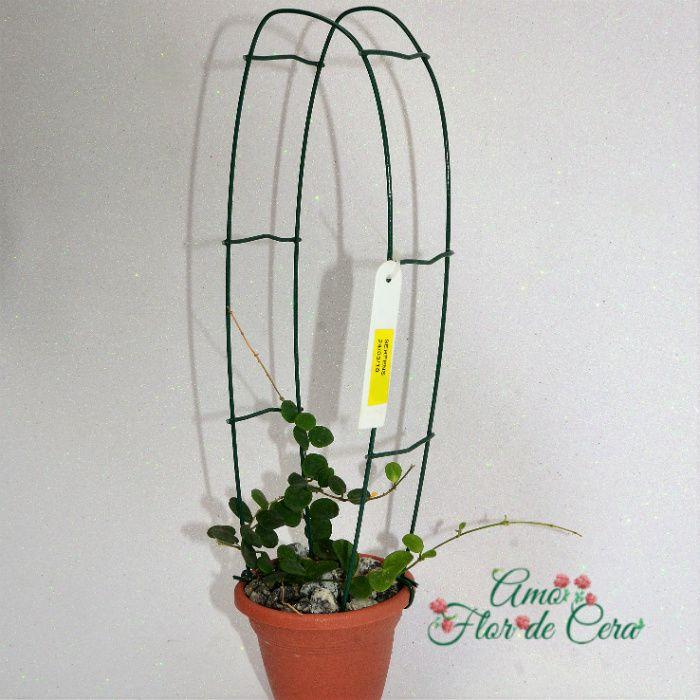 hoya serpens - flor de cera - muda grande
