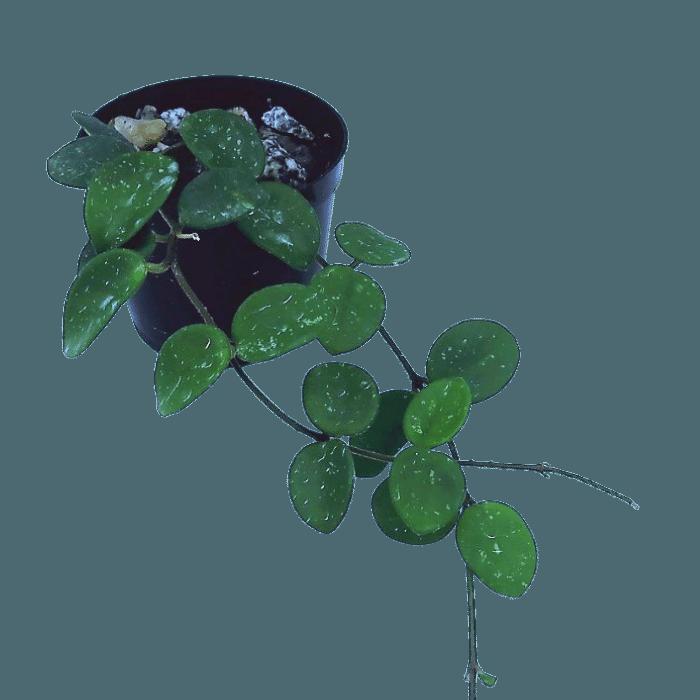 Hoya serpens - muda pequena - flor de cera