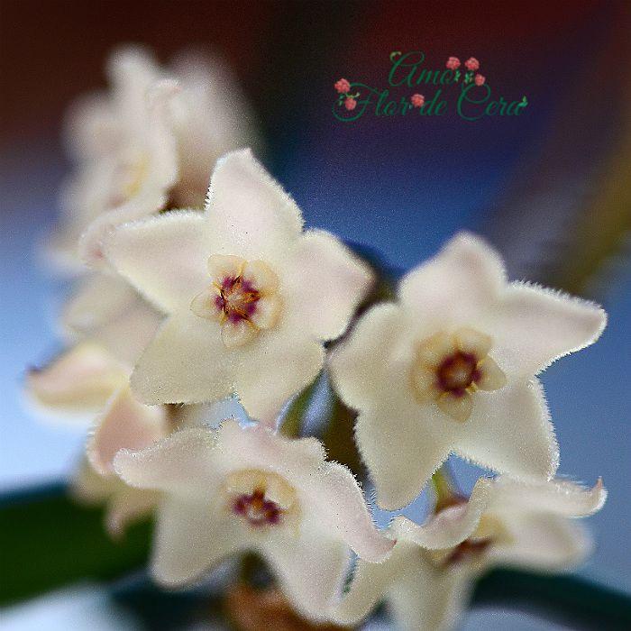 Hoya shepherdii - flor de cera  - muda extra grande