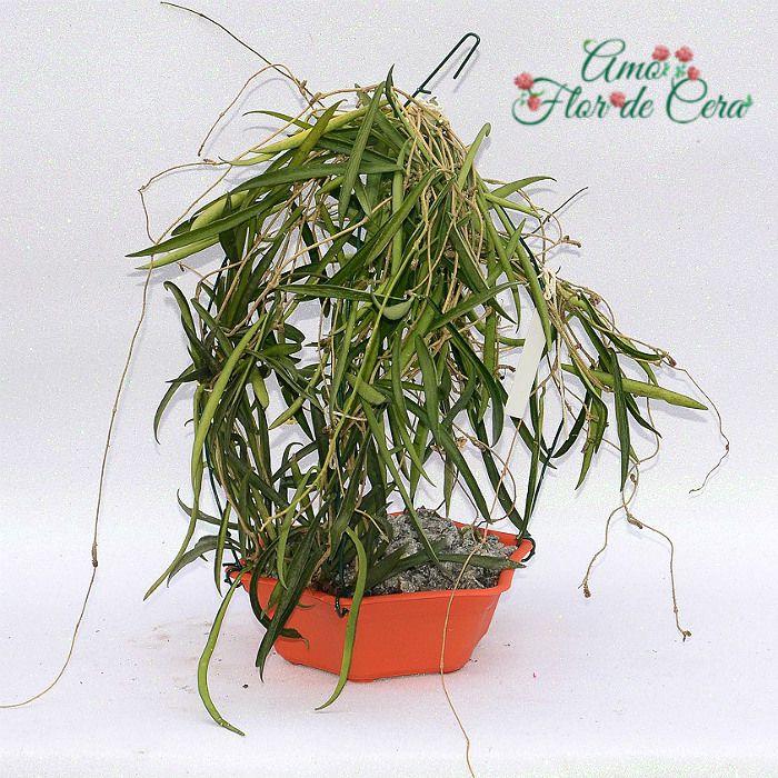 Hoya shepherdii - flor de cera  - extra grande