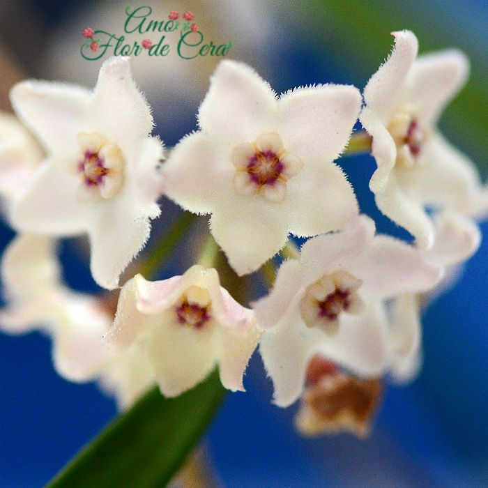 Hoya shepherdii - flor de cera  - vaso grande