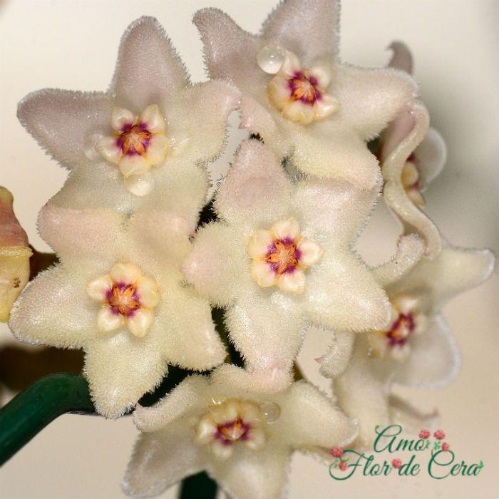 Hoya shepherdii - flor de cera  - vaso pequeno