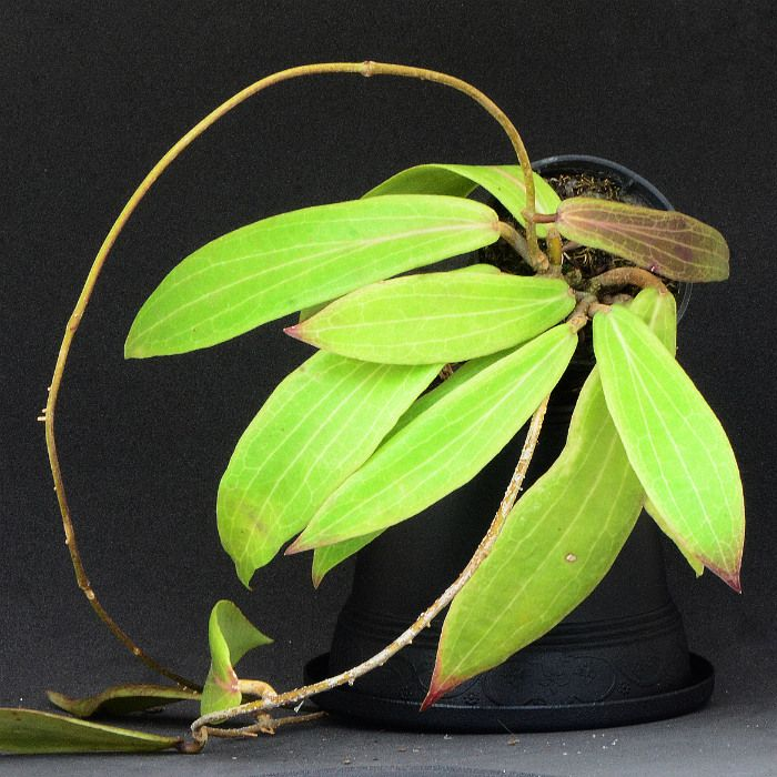 Hoya siariae yellow pink - flor de cera