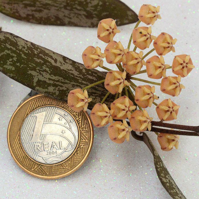Hoya sigillatis - muda flor de cera