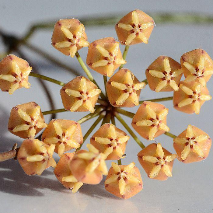 Hoya sigillatis - muda grande - flor de cera