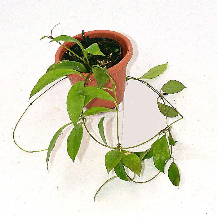Hoya sipitangensis - muda flor de cera