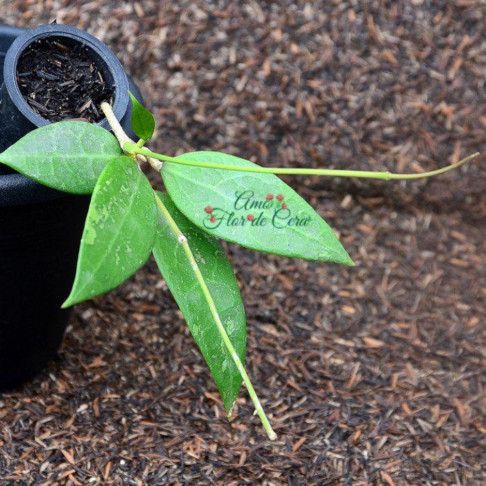 Hoya sp bogor - flor de cera