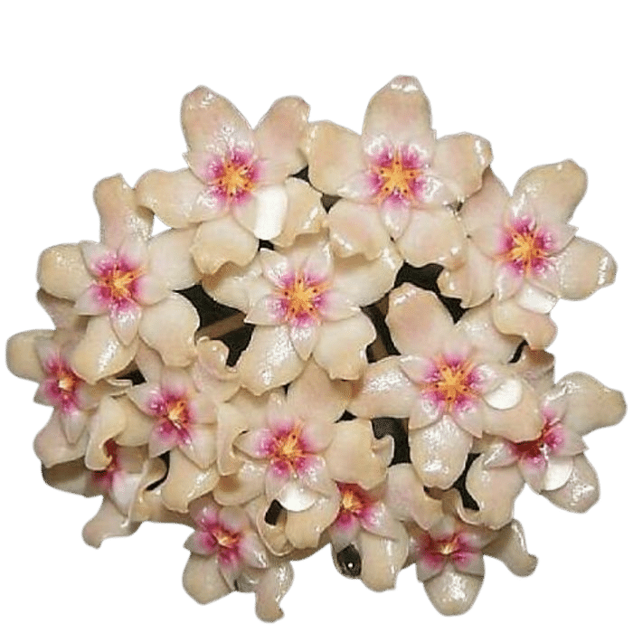 Hoya sp bogor - muda flor de cera