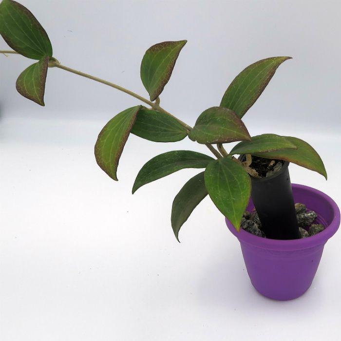 Hoya sp palawan - muda flor de cera