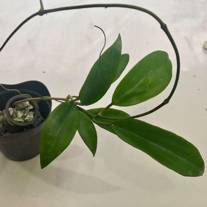 Hoya sp thai 3 ( Hoya rígida )