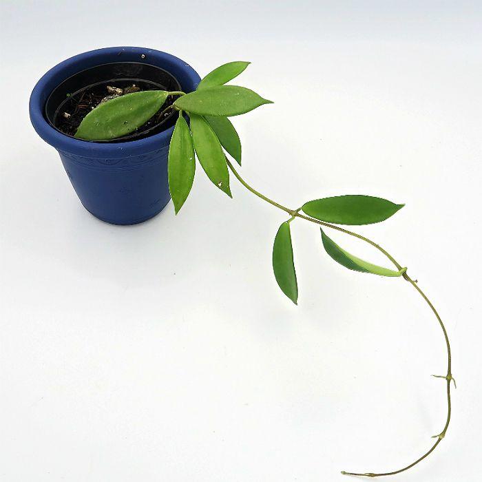 Hoya stoneana - muda flor de cera