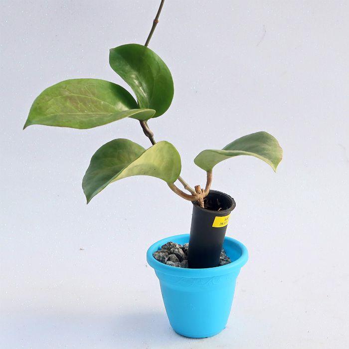 Hoya surigaoensis - flor de cera