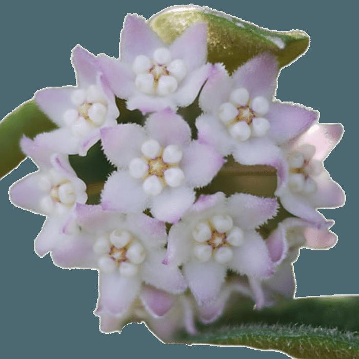 Hoya thompsonii - muda flor de cera