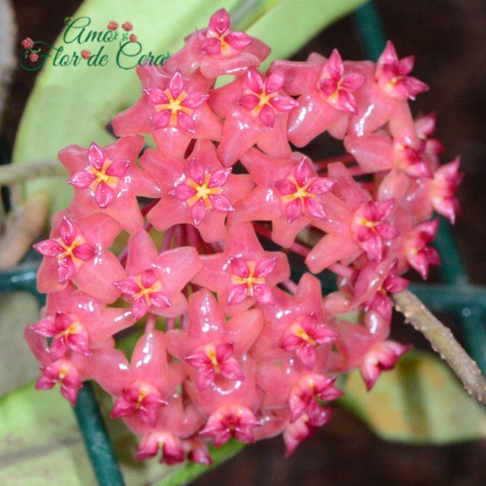 Hoya valmayoriana - flor de cera