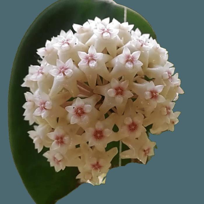 Hoya verticillata - muda flor de cera