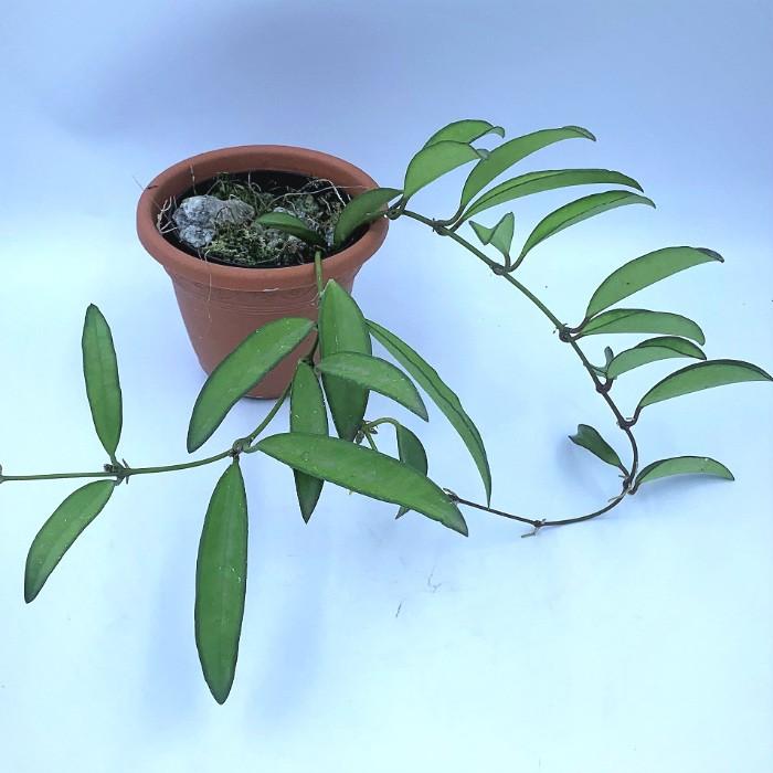 Hoya wayetii - muda flor de cera
