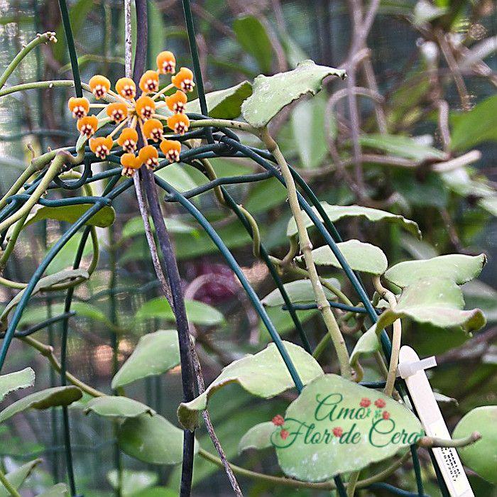 Hoya waymaniae - muda flor de cera