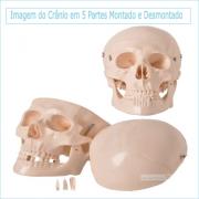 Crânio Humano em 5 Partes