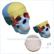 Crânio Tamanho Natural Colorido 3 Partes