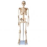 Esqueleto Escolar de 85 cm