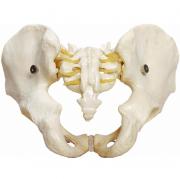 Esqueleto Pélvico Masculino