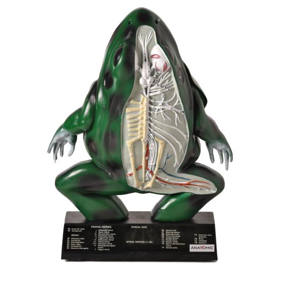 Anatomia do Sapo em Corte Coronal em Resina