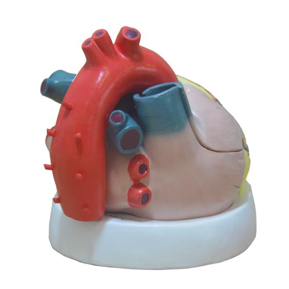 Coração Humano Ampliado em 3 Partes