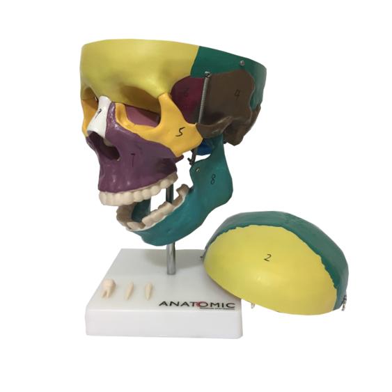 Crânio Didático Colorido Tamanho Natural em 5 Partes