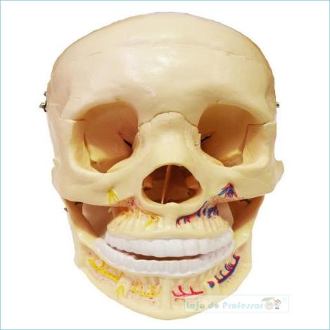 Crânio Humano com Mandíbula Aberta em 2 Partes