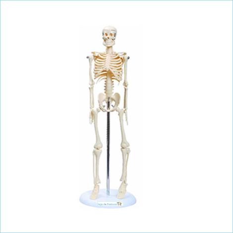 Esqueleto escolar articulado 45 cm