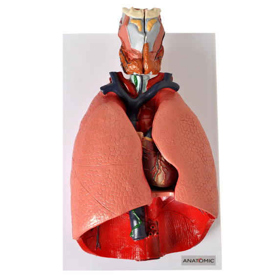 Sistema Respiratório e Cardiovascular em 7 Partes