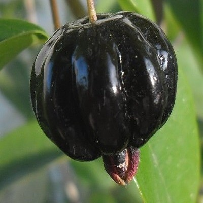 Essência Pitanga Negra