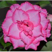 Rosa Do Deserto Carmem Cor Matizada Rosa Com Borda Pink