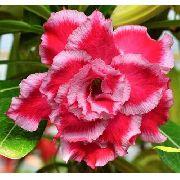 Rosa Do Deserto Cor Matizada Em Vermelho E Rosa Dobrada