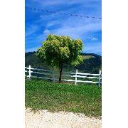 Muda Santa Barbara Dourada - Árvore Pingo De Ouro