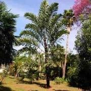 Muda da Palmeira Leque do Himalaia - Palmeira Valéquia