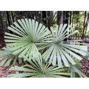Muda da Palmeira Leque Licuala Estrela - Licuala Spinosa