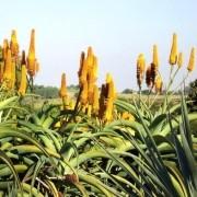 Muda de Aloe Thraskii