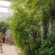 Muda de Bambuza - Bambu Decorativo