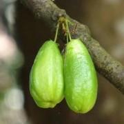 Muda de Bilimbi - Averhoa Bilimbi
